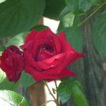 rote Rose im Bauerngarten, Hof Baum, Zeltingen