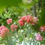 Bauerngarten in Blüte